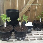 Heirloom-Tomatoes-ready-to-plant