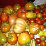 harvest-heirloom-tomatoes